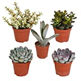 5x Zimmerpflanzen Sukkulenten Set | Robuste Pflanzen fürs Fensterbrett | Höhe 7-14 cm | Sukkulenten im Topf-Ø 6 cm