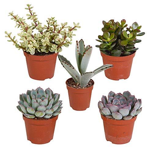 Mix 5 Succulente | Crassula, 2x Echeveria, Portulacaria, Kalanchoe | Piccole piante facili da curare | Altezza 7-14cm | Vaso Ø 6cm