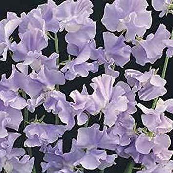 Potseed Las Semillas de germinación: A 250 Semillas: Semillas Outsidepride Guisantes de Olor Real Flor de la Lavanda