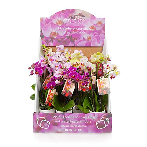 Just Add Ice J-426 Mini Orchid Plants, 12 Pack, Assorted Colors