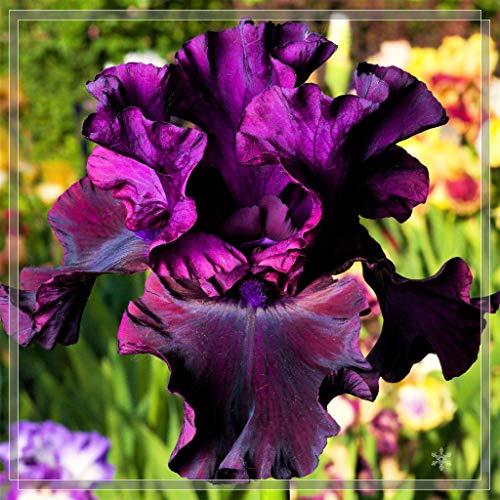 Iris Rhizome,Schwertlilien Winterhart Staude,Langlebige Pflanzen,Gartenpflanzen,Pflanzen Mit Starker Vitalität, Exotisch, Einheimisch-5 Iris *Zwiebels,1