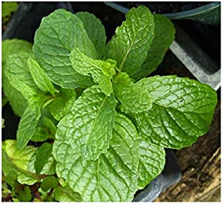 3 Kentucky Colonel Spearmint Herb Plants - Very Fragrant - Great for Mohitos -Mentha - 3.5