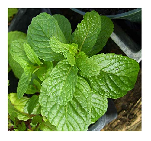 3 Kentucky Colonel Spearmint Herb Plants - Very Fragrant - Great for...