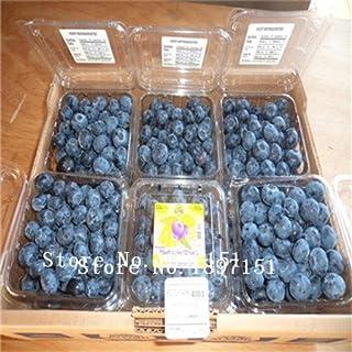 venta grandes 100 piezas de arándanos semillas semillas de frutas de semilla de arándano en maceta