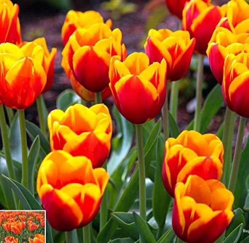 Acecoree Samenhaus- 50Pcs Tulpenzwiebeln Samen, Selten Blumenmeer Saatgut winterhart mehrjährig Zierblumen Tulip Bonsai Blumenzwiebeln Samen