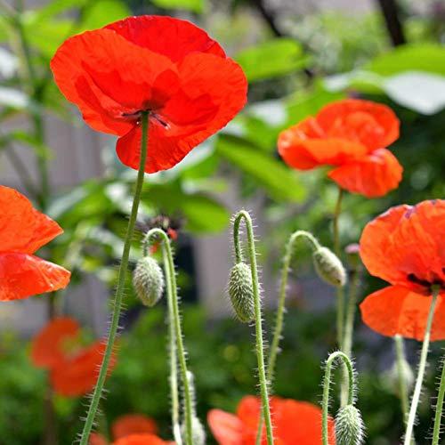 XINDUO Graines de Parfum rares,Graine d'herbe de Fleur de Jardin de maïs beauté-0,5 kg,Mélange Fleurs graines