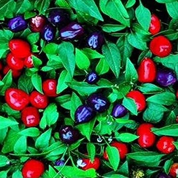 AGROBITS Pepper  icum Annuum Filius  Voir