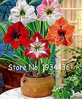 Potseed 100 PC/Bolso Italianos Amaryllis Barbados Lily en Maceta de Flores Balcón (No LÁMPARAS) Azotea Jardín