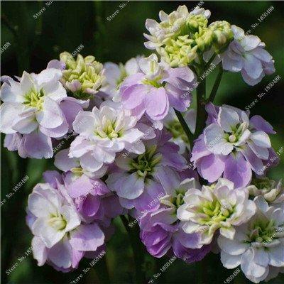 Lin bleu exotique Fleur Graine jardin purifiant Air Plante en pot Fleurs Graines de Heirloom Bonsai Hanging Rares Lin 50 Pcs 3