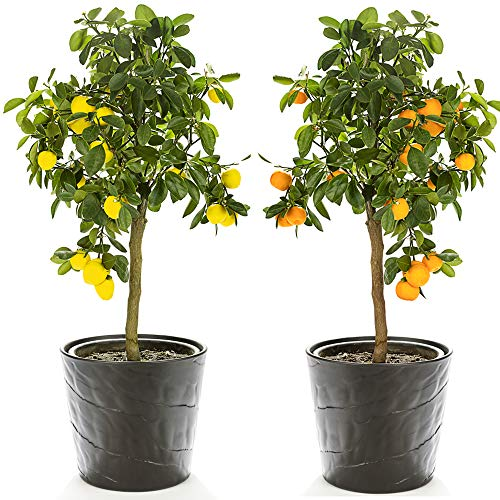 Citrus Fruit Tree Duo Houseplants Grow...
