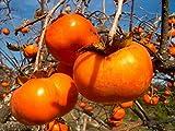 El caqui japonés, Diospyros kaki, Árbol 5 semillas (frutos comestibles vistosas, color de la caída)