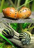 Polar Bear's Pet Shop HOT! 10 Nerite Snails 5 Tiger 5 Zebra Live Freshwater Aquarium Snail Algae Eater
