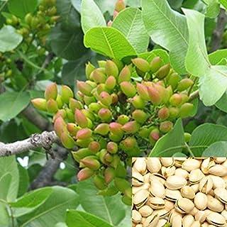 QHYDZ Garden-10/20pcs Semillas Pistachos Arbol del Pistacho