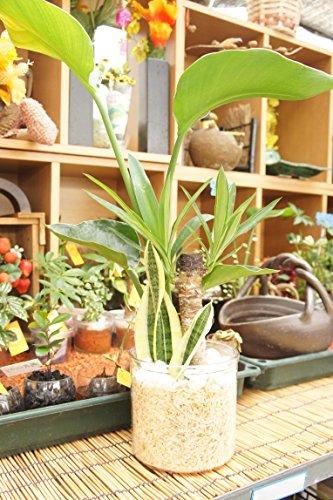 【純国産ひのきを使用した観葉植物。ひのきの香りに癒されます。】 ハイドロカルチャー 観葉植物 寄せ植え3種 クリア5号 ひのき
