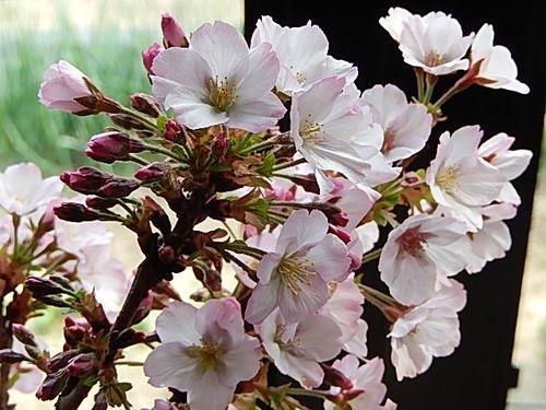 楽樹『こぼんさい御殿場桜』