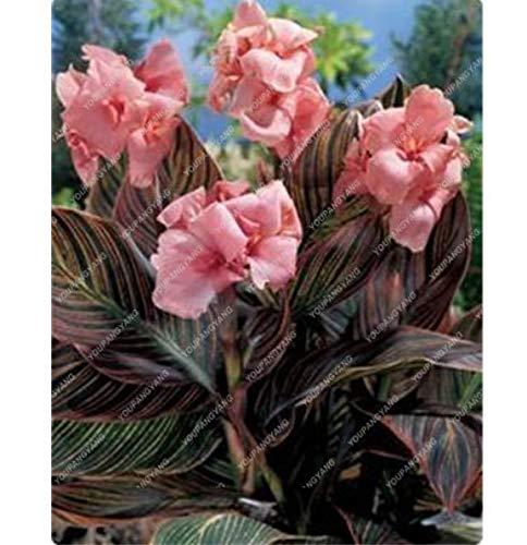 HONIC Canna Lilien-Samen Bonsai Blumensamen Topf Seed 50PC PINK Farbe