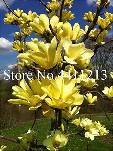 GEOPONICS SEEDS: 10 Stück Bonsai Magnolia Pflanze Magnolien-Baum Pflanze Schöne Blume Pflanze Indoor oder Ourdoor Topfpflanzen DIY für Hausgarten: 16