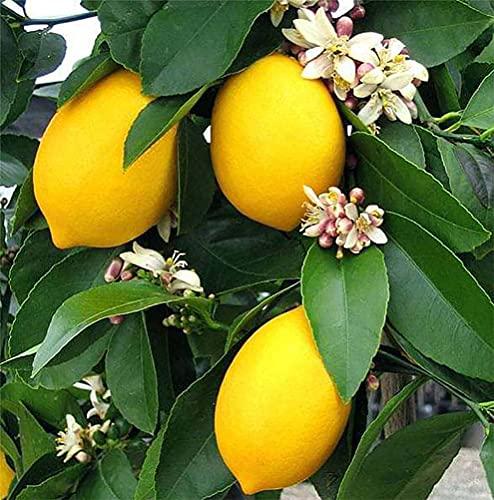 """レモンの苗木""""四季成 リスボンレモン""""しっかり大きい2年生挿し木 5号ポット 今年から実がなる率が高い大苗【品種で選べる果樹苗/1本売り】学名:Citrus limon 'Lisbon'/英語:Lisbon lemon/ミカン科ミカン属の半耐寒性常緑低木(-5℃程度)/開花時期:5月頃 自家結実性:あり。1本でも実る。●開花ピークの春以外に不定期開花で受粉し、思わぬときの収穫も期待できる多収性レモンです。リスボン はレモンの中でも育てやすく豊産性があり、1本でも実がなる品種です!トゲはある品種で、酸味が強く、さわやかな香りがあり、果汁が多いのが特徴です。早生で10月~4月頃に収穫ができます。5月頃に白いきれいで甘い香りがする花が咲き、その後果実がつきます。大苗なので今年から収穫が期待できます。【※常緑樹ですが冬季は多少葉が傷んだ状態での出荷となります。収穫開始時期は目安です。出荷タイミングにより、苗の大きさは多少大きくなったり小さくなったりしますが、生育に問題が無い苗を選んで出荷します。植物ですので多少の葉傷み、虫食い等がある場合もございますが、あらかじめ、ご了承下さい】"""
