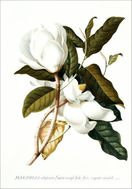 últimos estilos Posterlounge Cuadro de PVC 60 x x x 80 cm  Magnolia de Georg Dionysius Ehret Bridgeman Images  nuevo sádico