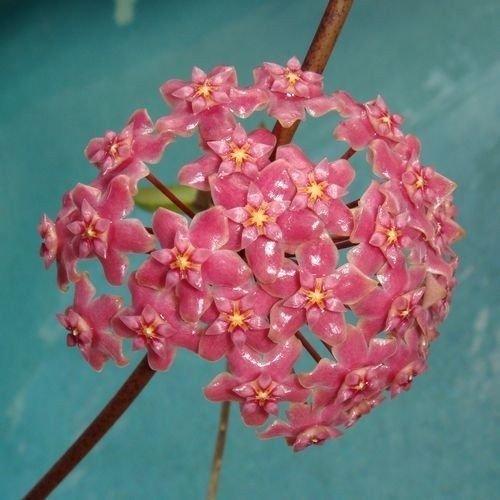 20 pcs Rose Hoya orange Graines Boule Orchard Flower Garden Seed Orchard Plante