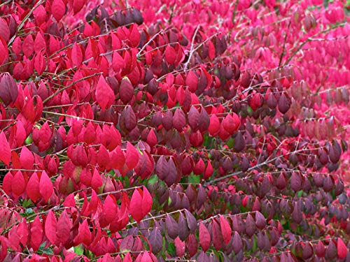 60 Seeds: brennende Bush, Flügel-Spindelstrauch, Samen (Fall-Farbe, Hardy, Hecke)