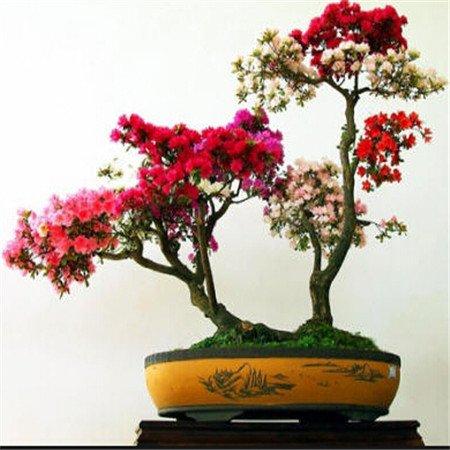 5 pièces / sac Variétés Graines Plantes RESSEMBLE À cerise Blooms Graines de fleurs