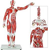 78Cm / 27-部分半等身大の筋肉図、取り外し可能な臓器と筋肉の解剖学人間の筋肉と臓器のモデル、学校のプレゼンテーションツール用