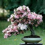 Portal Cool 10 Fiore di ciliegio giapponese Sakura Bonsai vero albero Seeds - Uk Venditore - Rare