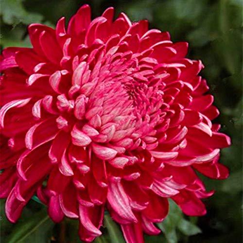 Elitely Mamas seltene mehrjährige blume innensamen chrysantheme samen für zuhause & amp; Garten-Mischfarbe 35 Pcs/Bag: 20