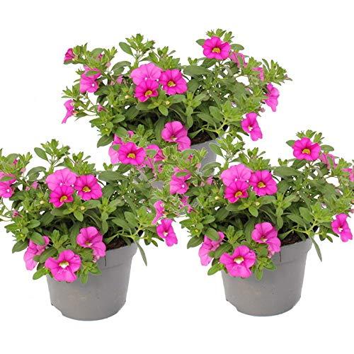 Zauberglöckchen - Minihängepetunie - Calibrachoa - 12cm Topf - Set mit 3 Pflanzen - rosa