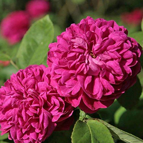 Kordes Rosen de Resht Historische Rose, fuchsienrot, 12 x 12 x 40 cm