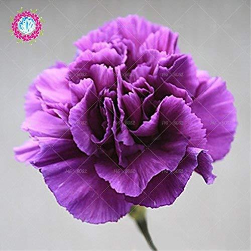 Rare Carnation Black Seeds Balcon Cour Jardin des Plantes en pot Rose Dianthus caryophyllus Graines de fleurs 100PCS Livraison gratuite 3
