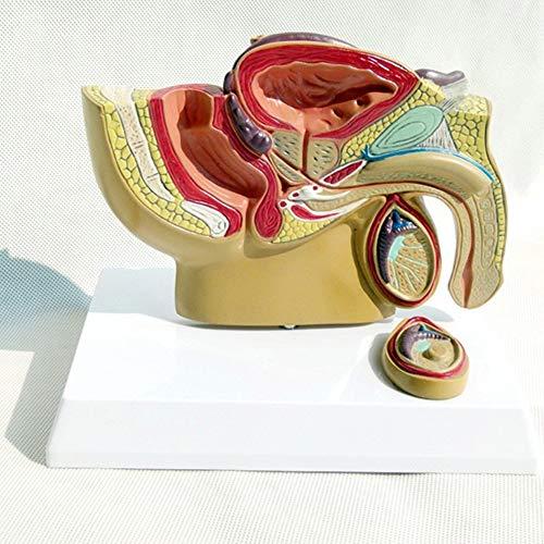 Modelo De Próstata Masculino Testículo Pélvico Modelo De Próstata Urología Masculina Modelo De Ciencia De La Anatomía Humana Suministros De Enseñanza De Ciencias Médicas