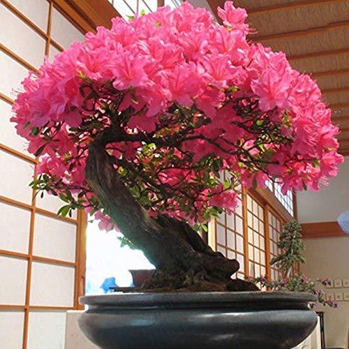 40Pcs / Bag Sakura Seeds Planta Fácil Magical Non-GMO Bonsai Flowering Sakura Seeds Inicio Semillas de Sakura