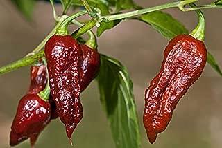 Bhut Jolokia Naga Chocolate | Ghost Chili Pepper | 20_Seeds