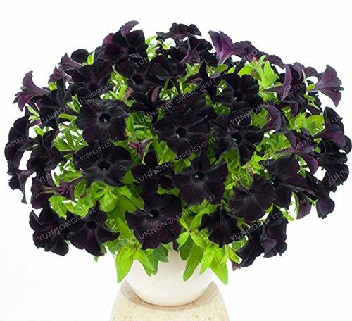 Escalade Pétunia Graines de fleurs Jardin Bonsai Balcon Petunia hybrida semences de fleurs de 20 espèces végétales Bonsai facile à cultiver 100 Pcs 15
