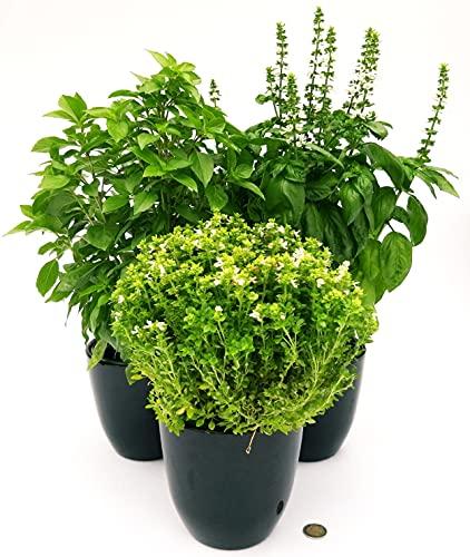 Albahaca Tris Bio, Genove, Alpino y griego, maceta de 13 cm, 3 plantas, plantas auténticas