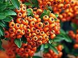 Mittelmeer Feuerdorn Pyracantha coccinea 20 Samen Heckenstrauch