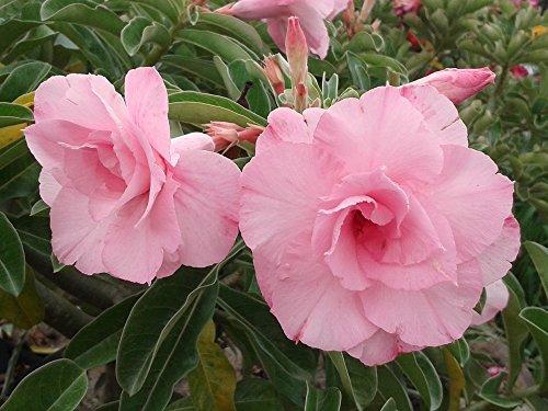 Rosy Adenium Obesum'Patumma' Plant