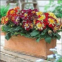 30 Seeds Dahlia Dandy Mix Flower Seeds #UTS3