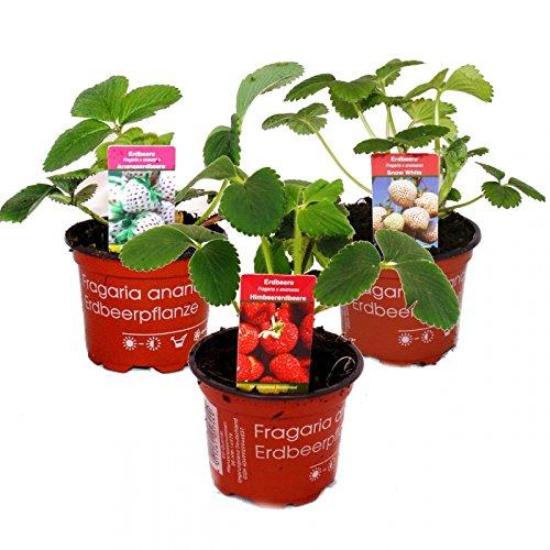 Ausgefallene Erdbeer-Sorten - 3 Pflanzen - Weisse Erdbeere