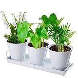 Wisolt Maceta de metal para hierbas aromáticas, 3 unidades, color blanco, con bandeja, estilo vintage para plantas suculentas
