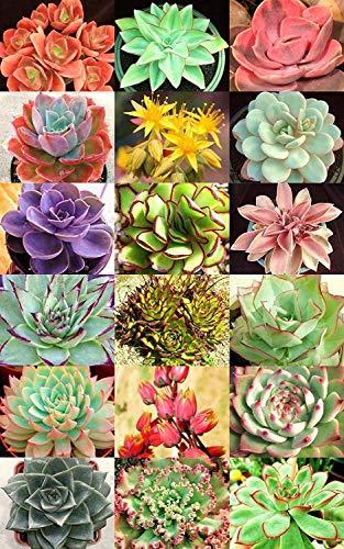 ECHEVERIA Varieté Mix @@ seltene Pflanze exotische saftige Samen Blumentopf 20 Samen