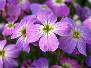 500 EVENING (NIGHT) SCENTED STOCK Matthiola Bicornis Flower Seeds