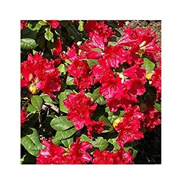 SANHOC Samen-Paket: Rhododendron 'Baden-Baden' Hybrid 15cm Topf SizeSEED