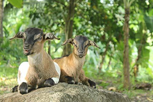 Cabra Animal Mamífero Bebé Naturaleza Fauna Criatura 1,000 Piezas De Rompecabezas Juguetes Educativos para Niños Desafían La Capacidad Intelectual