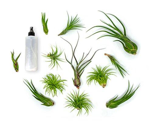 12 Live Air Plant Variety Pack| Large Tillandsia Terrarium Kit with Spray Bottle Mister for Water /Fertilizer | Assorted Species
