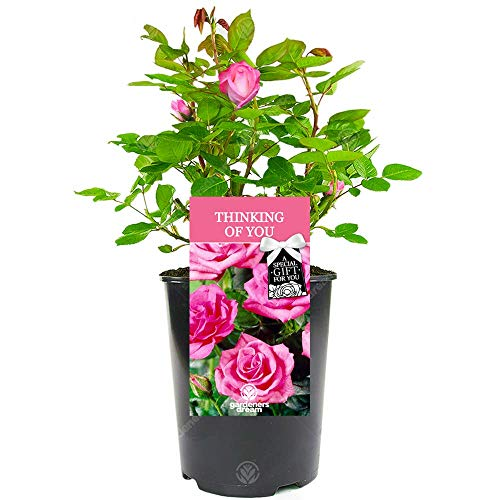 Thinking of You Rose - Someone Special On Your Mind Say It with a Unique Living Plant Gift