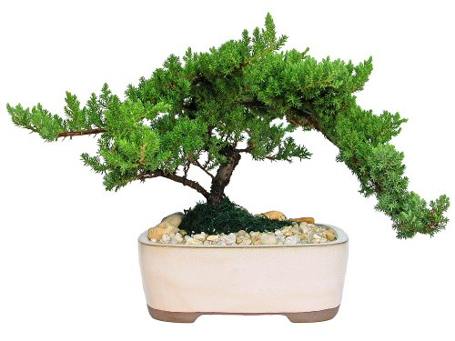 Eve's Japanese Juniper Bonsai Tree, 10 Years Old Japanese Juniper, Planted in 10 Inch Ceramic Container, Outdoor Bonsai ! ! ! Cannot Ship to CA California ! ! !
