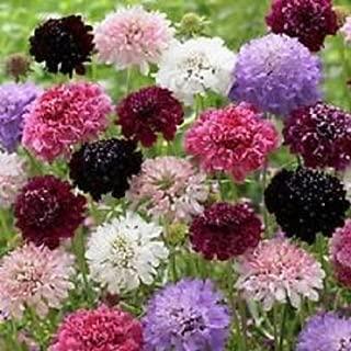 30+ Scabiosa Cutbrite Pincushion Mix Flower Seeds / Perennial